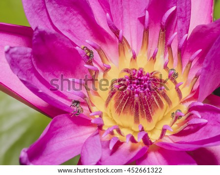 Macro Pink Lotus Flowers with Bees eating for Nature Backgrounds.