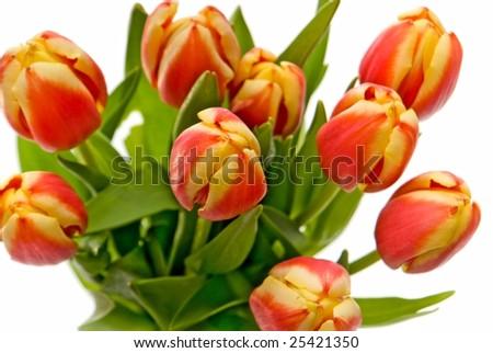 macro red-yellow tulip on a white background - stock photo