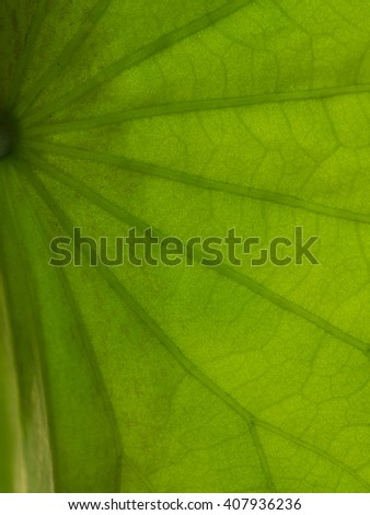 Macro short the green lotus leaves and is backlit streaks.Green background. - stock photo