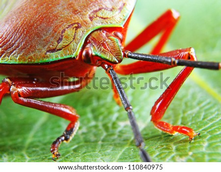 Macro shot of a Beautiful Red and Green Stink Bug resting on a leaf in very narrow focus