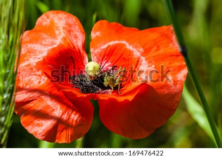 macro shot of a bright red poppy with a small cricket inside - stock photo