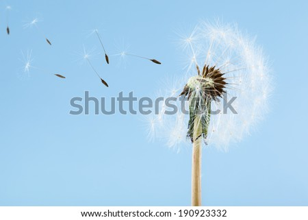 macro shot of a dandelion over a blue background with wind blowing seeds away