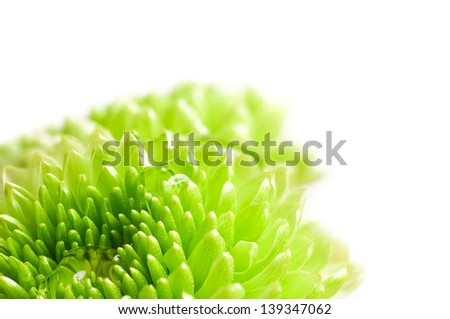 Macro shot of a green chrysanthemum flower with water drops - stock photo