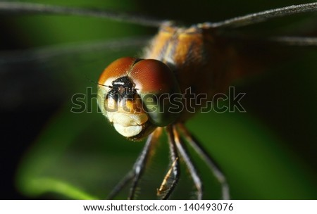 Macro shot of a greyish blue dragonfly