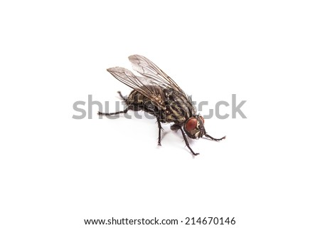 Macro shot of a housefly, Fly isolated on a white background - stock photo