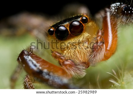 Macro shot of a jumping spider, Salticidae