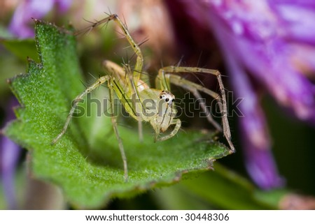 Macro shot of a lynx spider - stock photo