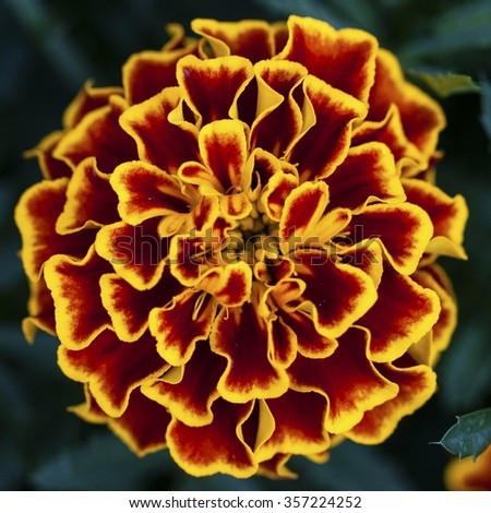 macro shot of a marigold - stock photo