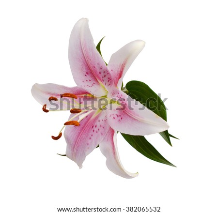 Macro shot of a pink flowers, isolated on white - stock photo
