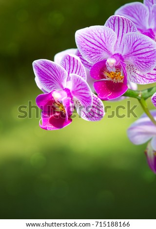 Macro shot of a pink orchid isolated ob green background. Holiday card.