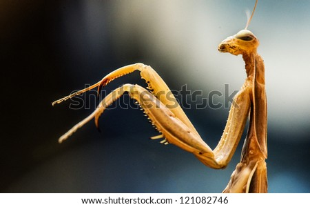 Macro shot of a Praying Mantis with forelegs and head - stock photo