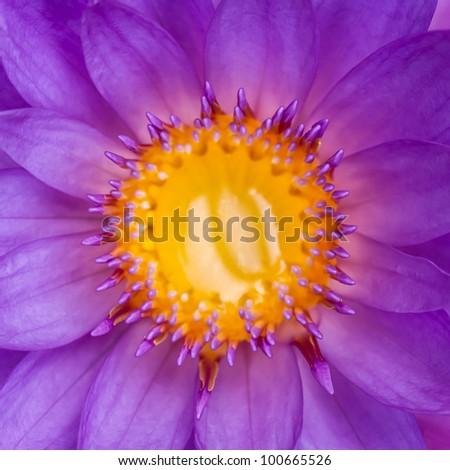 Macro shot of a purple lily - closeup centered image. - stock photo