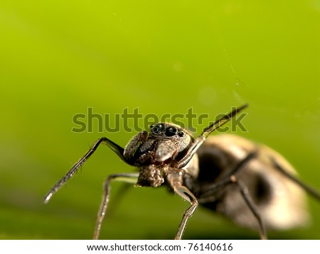 Macro shot of an ant-mimic jumping spider - stock photo