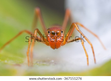 macro shot of an ant-mimicking spider