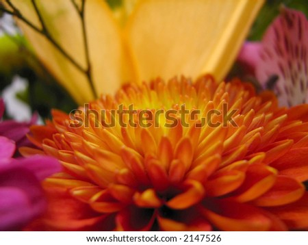 macro shot of an orange and yellow mum, (chrysanthemum), with other flowers as a background..., low light.
