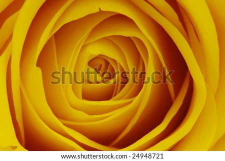Macro shot of an yellow rose blossom - beautiful layers of petals