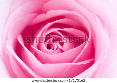 Macro shot of beautiful pink rose on white