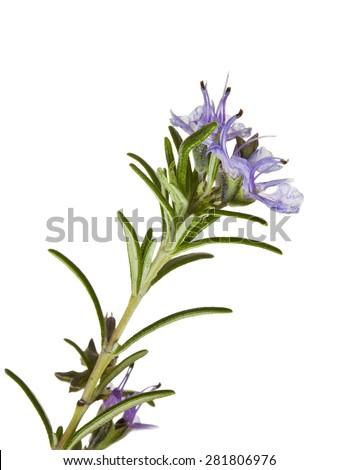macro shot of blooming Rosemary isolated on white - stock photo