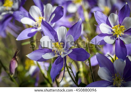 Macro shot of blue columbine flower blooms and buds in afternoon sunlight - stock photo
