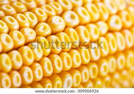Macro shot of corn background with selective focus. - stock photo