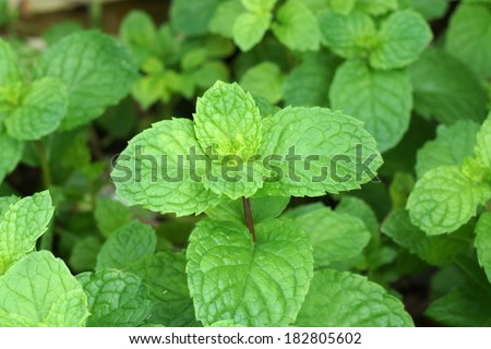Macro shot of mint leaves. - stock photo
