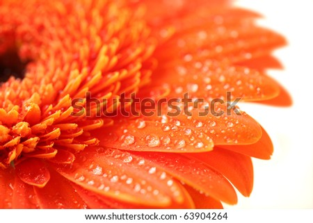 macro shot of orange gerber - stock photo