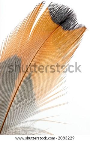 macro shot of pheasant feathers - stock photo