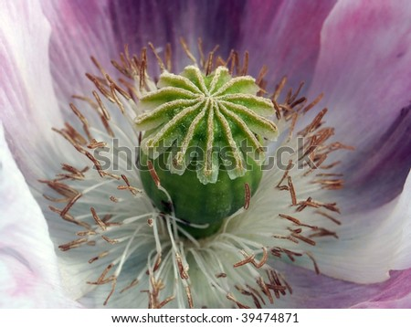Macro shot of pink poppy boll - stock photo
