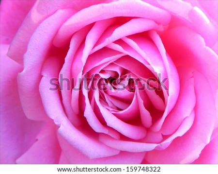 Macro shot of pink rose flower in the contra light/Pink rose contra light
