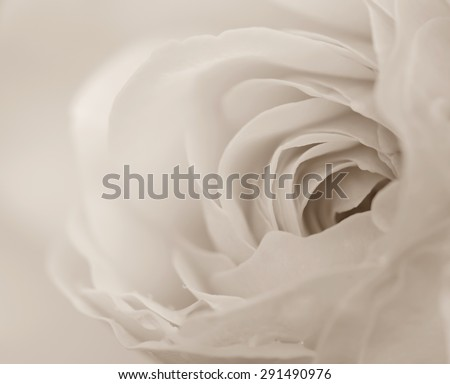 Macro shot of soft rose in black and white, soft background. - stock photo
