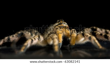 Macro shot of spider on black reflective plane, low point of view - stock photo