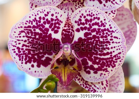 Macro shot of two colored orchid made indoors - stock photo