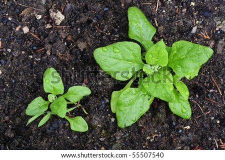 Macro shot of two seedlings in a vegetable garden in the early morning, still covered with dew, taken from directly above. - stock photo