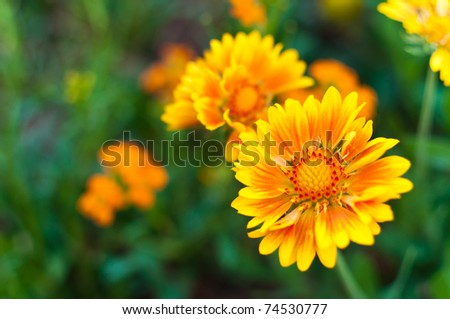 Macro shot of vibrant orange and yellow daisy - stock photo