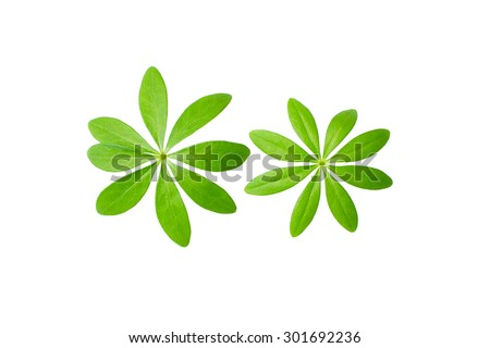 Macro shot Sweet woodruff leaves in front of white background