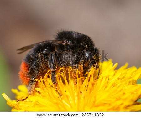 Macro side view of bumble bee feeding on dandelion flower  - stock photo