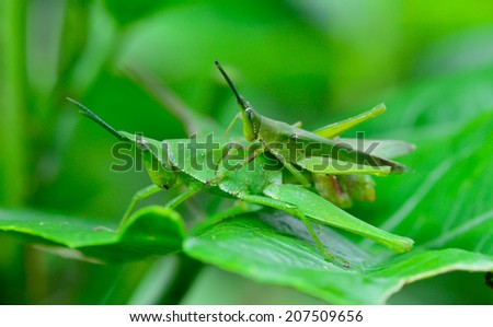 macro side view  of two grasshopper are breeding  on  leaf ; selective focus at eye with  blur green background - stock photo