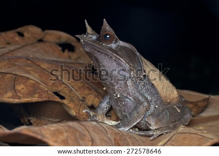 Macro side view shot of a Malayan Horned Frog on dry leaf - stock photo