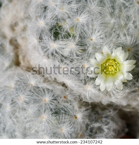 macro soft hair of cactus - stock photo