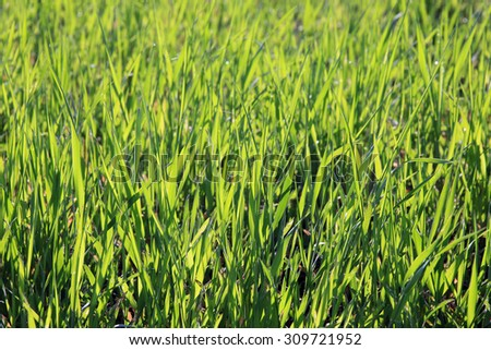 macro texture young green shoots of winter crops in a field in the early spring on a sunny day - stock photo