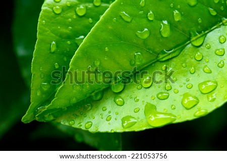 Macro view of a lemon tree leaves, with water drops on them.