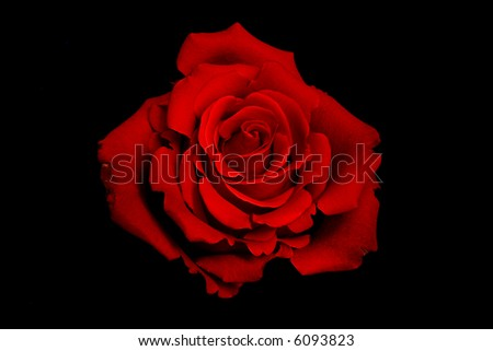 Macro View of a single red rose - stock photo