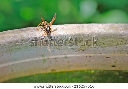 macro view of a wasp drinking on the edge of a  - stock photo