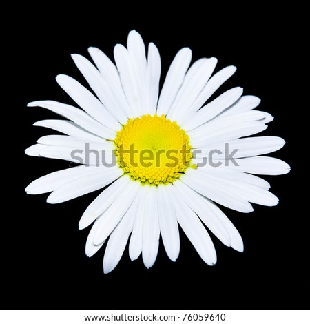 macro view of chamomile flower over black - stock photo