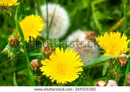 Macro view of dandelions in the field - stock photo