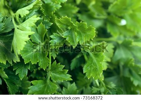 Macro view of fresh green parsley leaves - stock photo