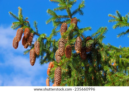 Macro view of pine tree with cones on sky background - stock photo