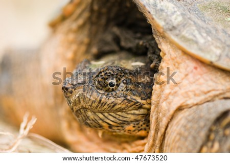 macro view of snapping turtle head - stock photo