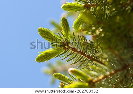 Macro view of vibrant green pine tree branch with blue sky background, shallow DOF - stock photo