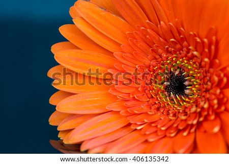 Macro view on orange colored flower with oval shaped petals and yellow stamen over blue background - stock photo